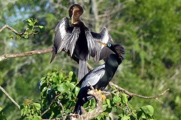 Bird Nesting Anhinga Courtship
