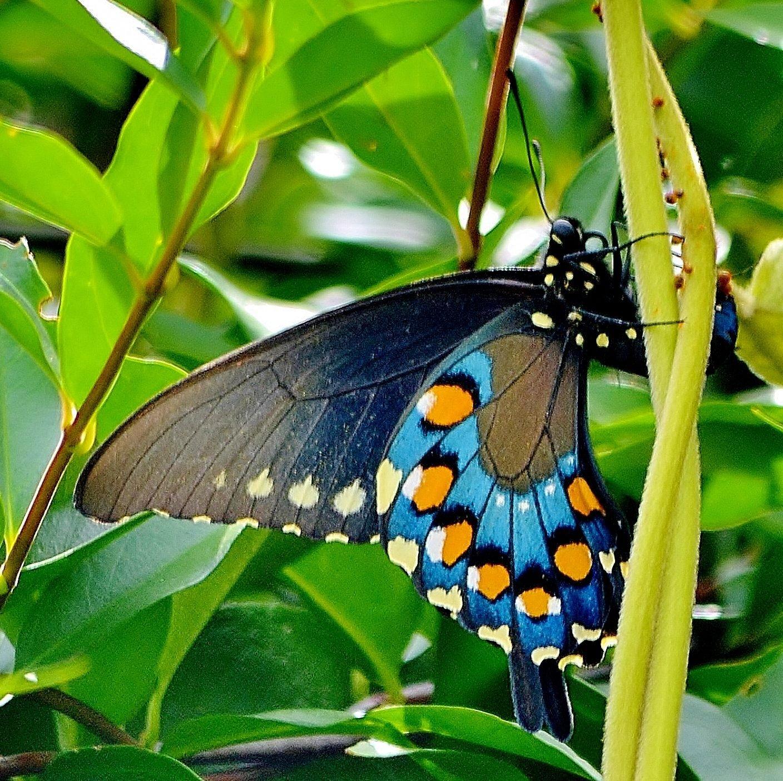 Pipevine Swallowtail | Butterfly bush Georgia yard Both ... |Pipevine Swallowtail Butterfly