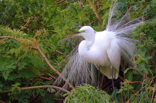 Great Egret Bird Nesting Season