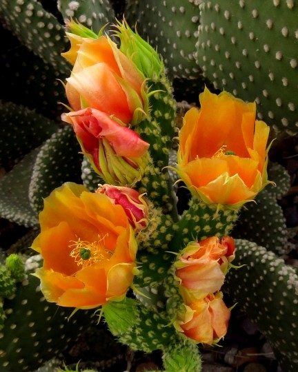Prickly Pear Cactus In Bloom Birds And Blooms