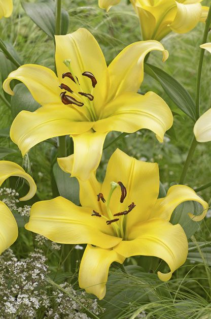 Top 10 Lilies to Love | Birds & Blooms
