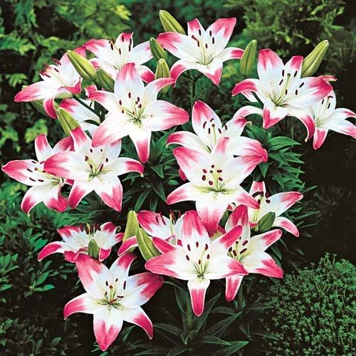 lollypop asian lily