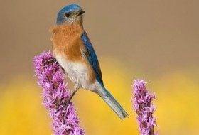 Bluebird on liatris