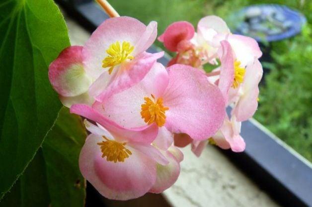 Container Shade Gardening Begonia