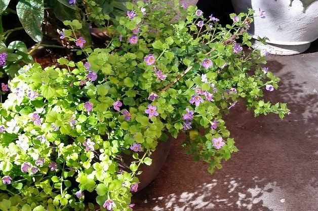 Container Shade Gardening Trailing Bacopa