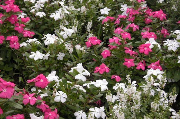 Container Shade Gardening Vinca Kristen Gilpin