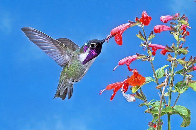 The Many Sounds of Hummingbirds | Birds & Blooms