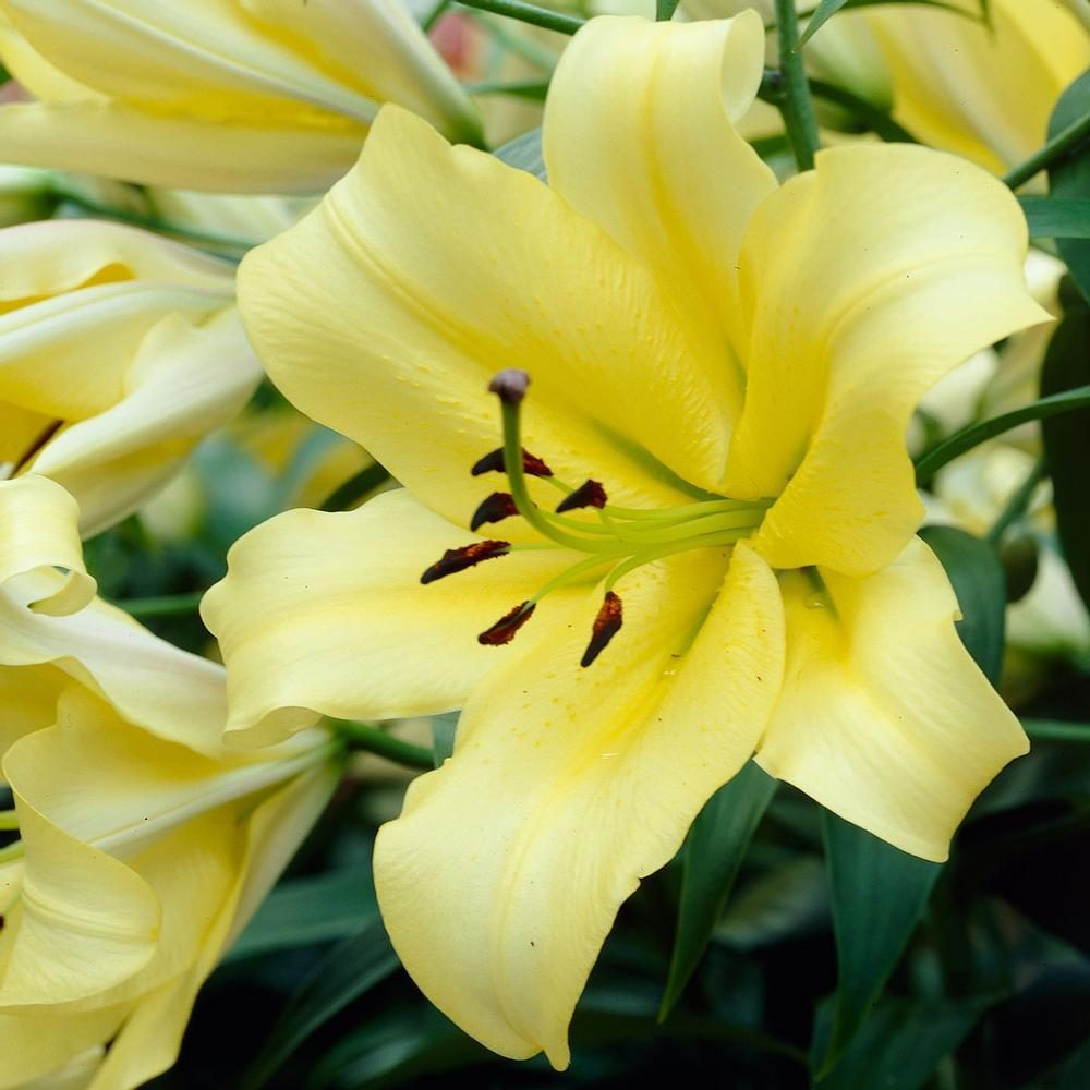 lily yelloween