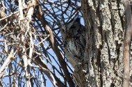 Bird Species Profile: Eastern Screech-Owl
