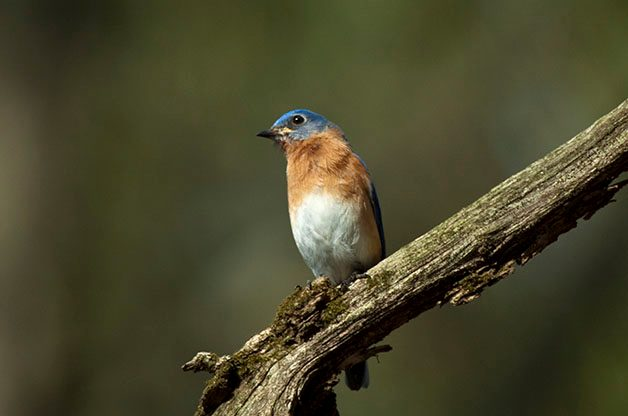 Do or Don't? Feeding Live Mealworms to Attract Bluebirds