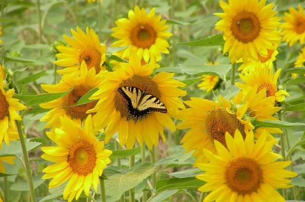 Tiger Swallowtail on sunflowers