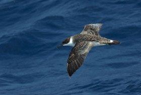 Birding Hotspots: Summer Pelagics from Hatteras, NC