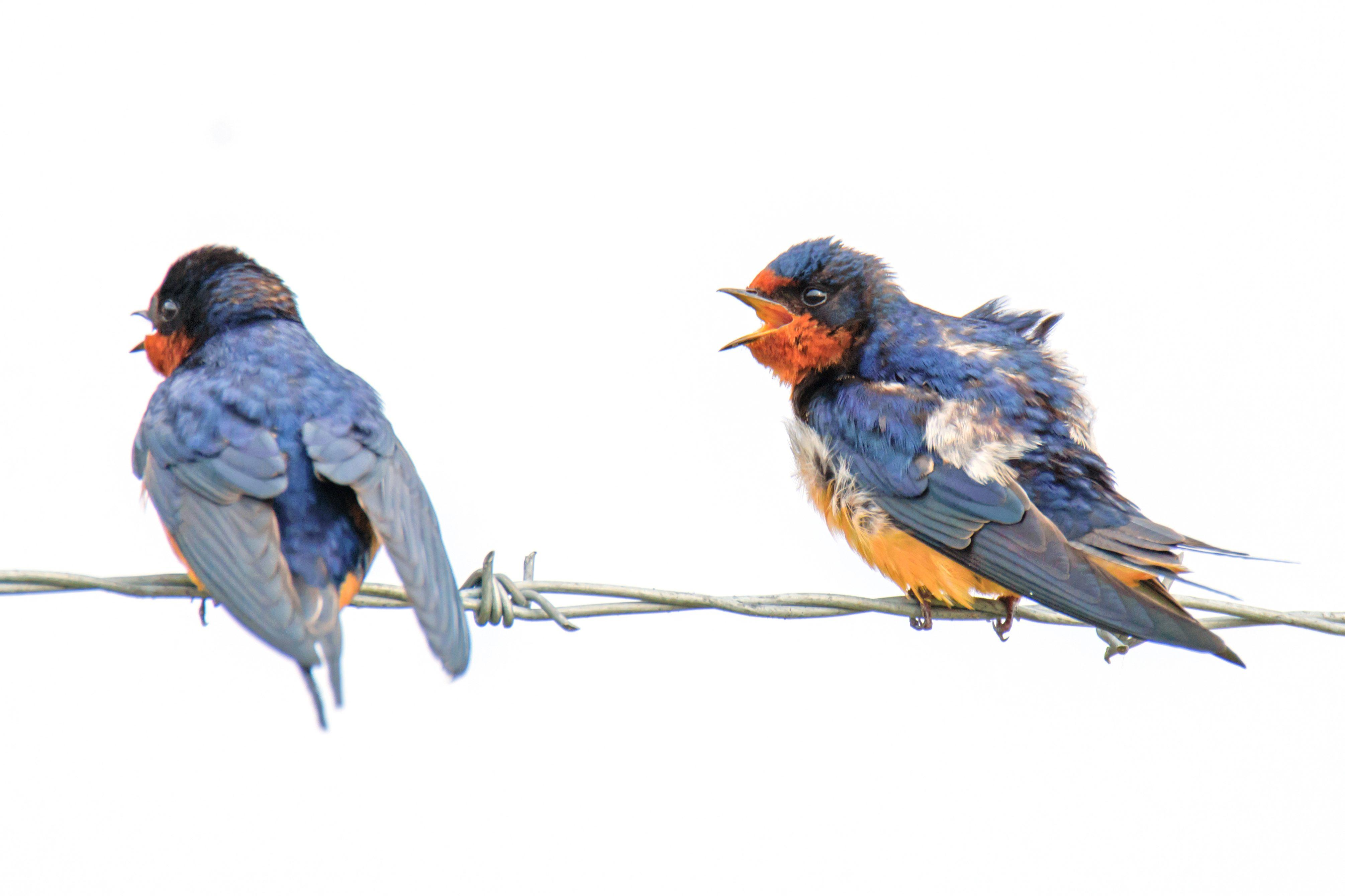 Squabbling Barn Swallows - Birds and Blooms