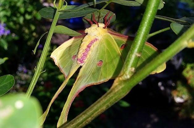 Luna Moth Body