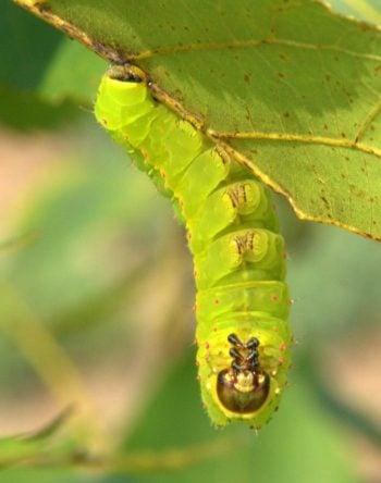 Luna Moth Caterpillar DebsDirt