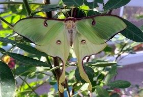 Luna Moth Female