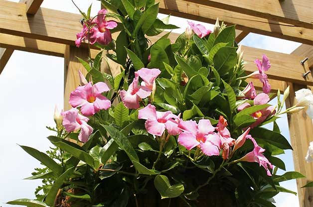 Top 10 vines for hummingbirds birds blooms mandevilla mightylinksfo Image collections