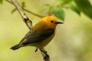 Incredible Warblers at the Biggest Week in American Birding