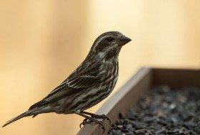 Birding Basics: 2 Confusing Female Birds