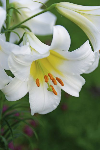 top 10 lilies to love flower gardening birds blooms