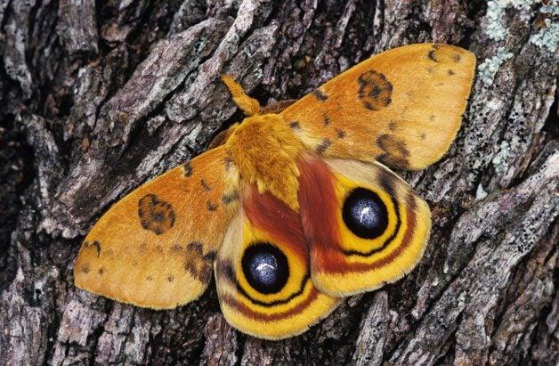 Spotlight On Moths   Birds & Blooms