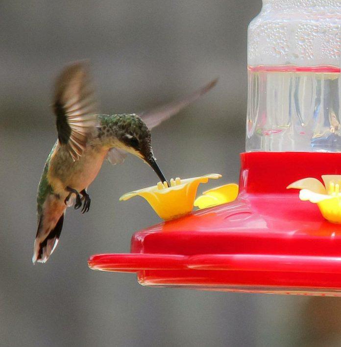 Hummingbird drinks sugar water from a feeder