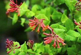 Top 10 Vines For Hummingbirds