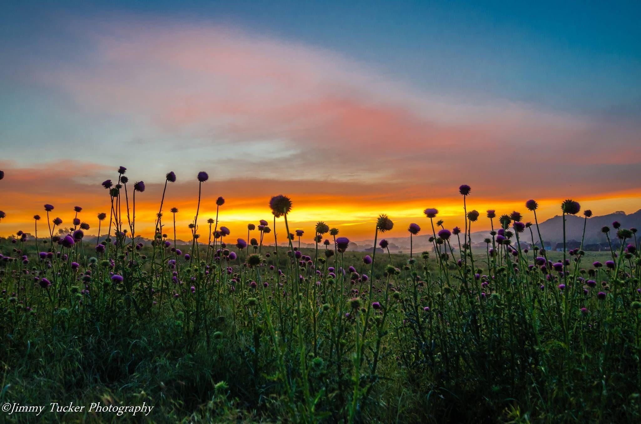 Purple Coneflowers At Sunrise Birds And Blooms