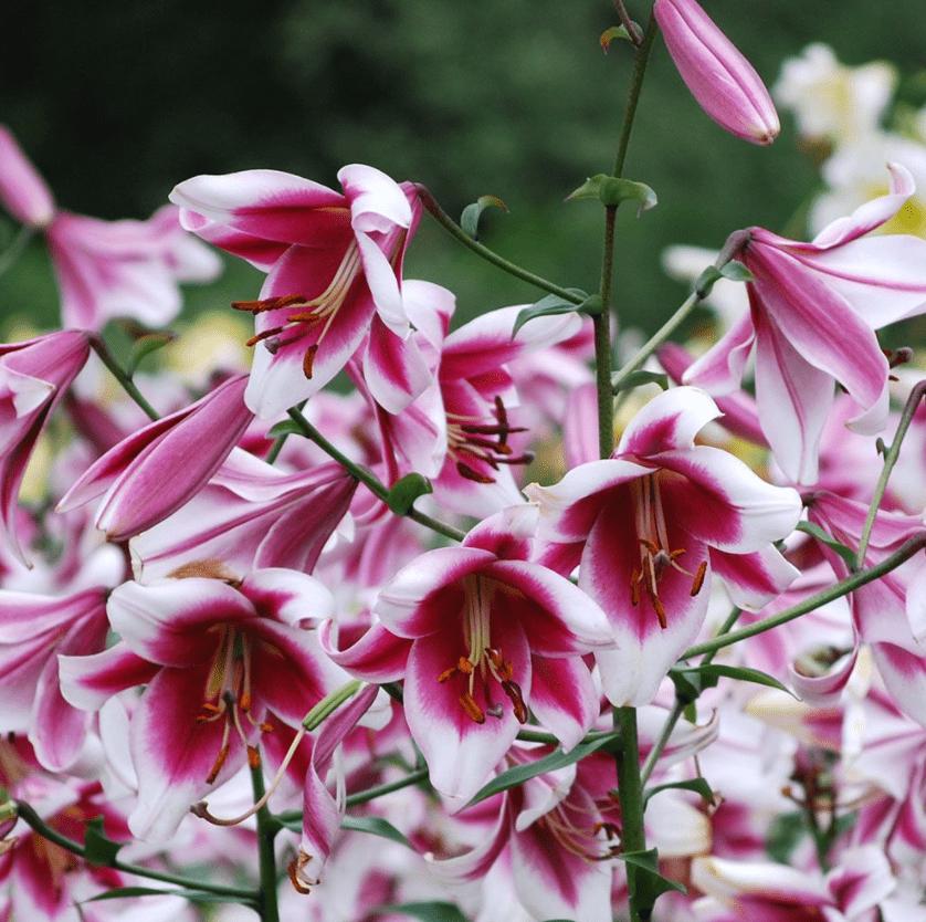 Silk road lily