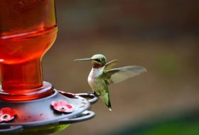 Hummingbird Sugar Water 101