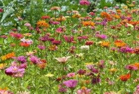 Attract Butterflies with Zin Master Zinnia Mix