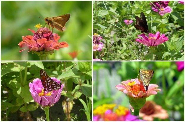 Attract Butterflies with Zin Master Zinnia Mix