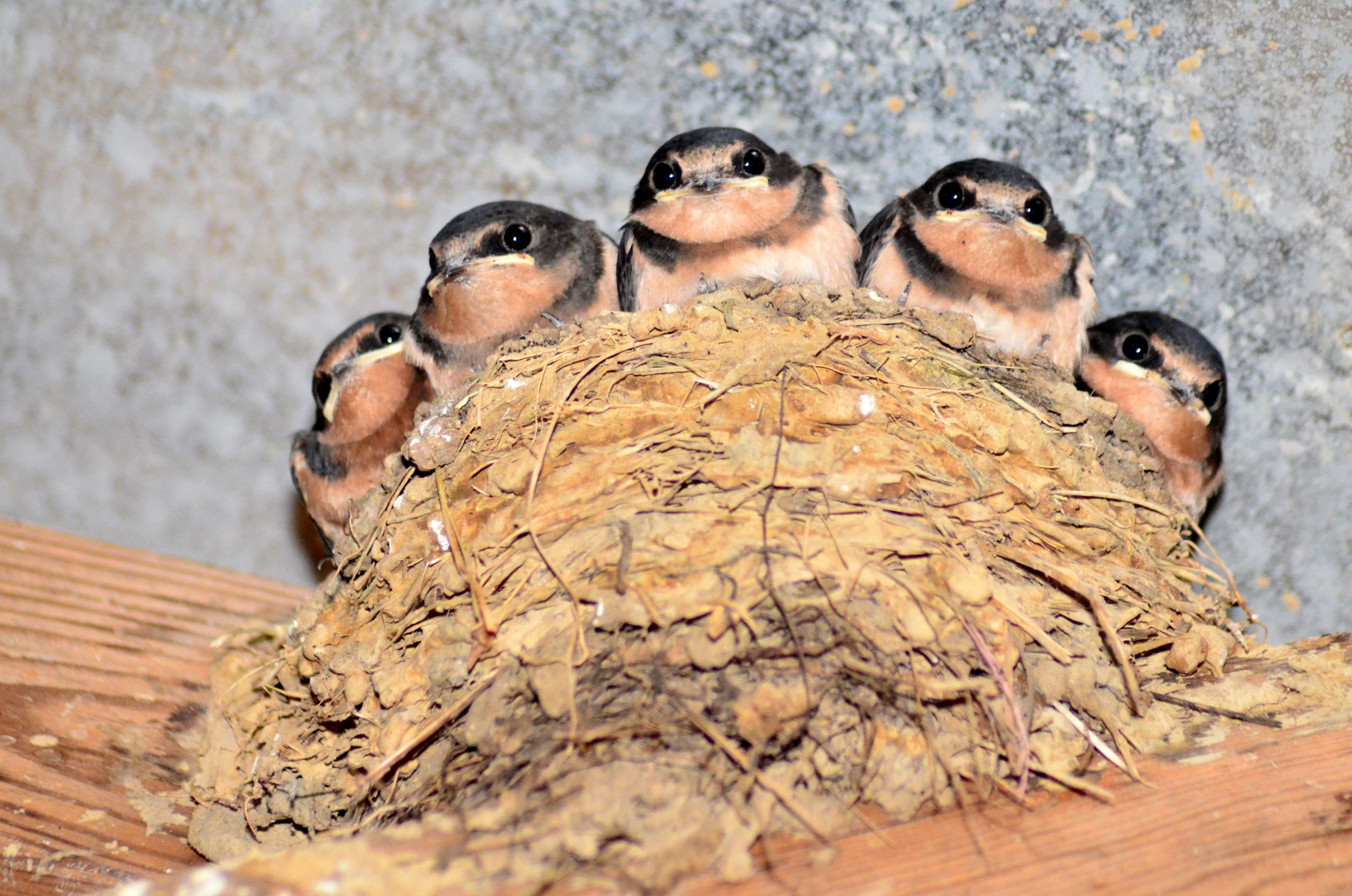 Baby Barn Swallows X 5 - Birds and Blooms