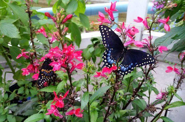 Cardinal Flowers in the Butterfly Garden
