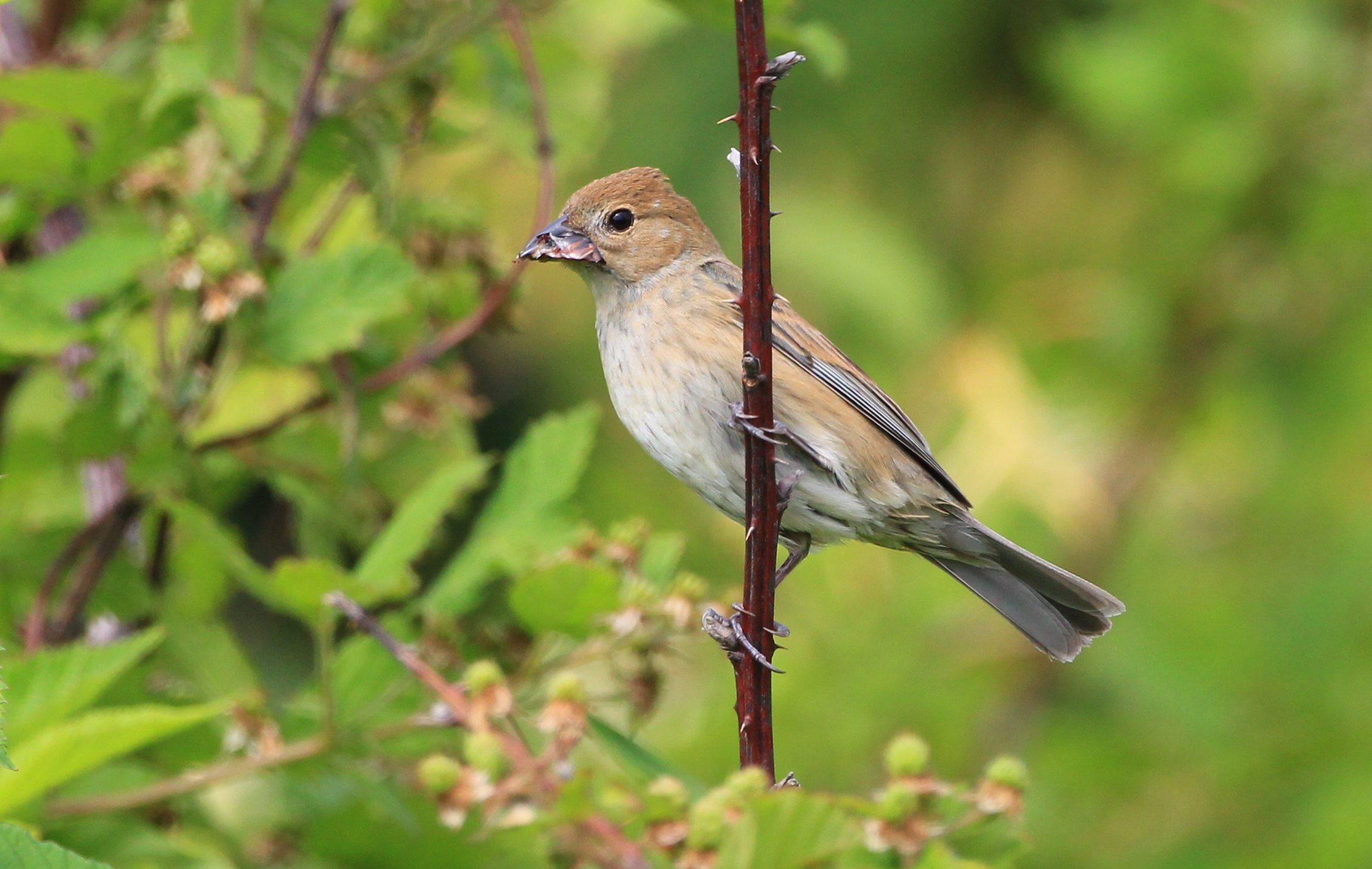Beak oddity on female indigo bunting birds and blooms