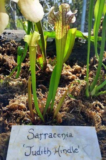 Growing Carnivorous Plants Pitcher Plants