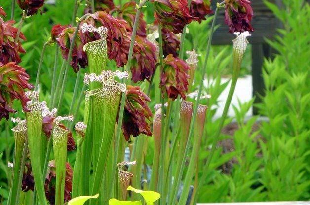 Growing Carnivorous Plants Pitcher Plants