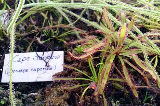 Growing Carnivorous Plants Sundews