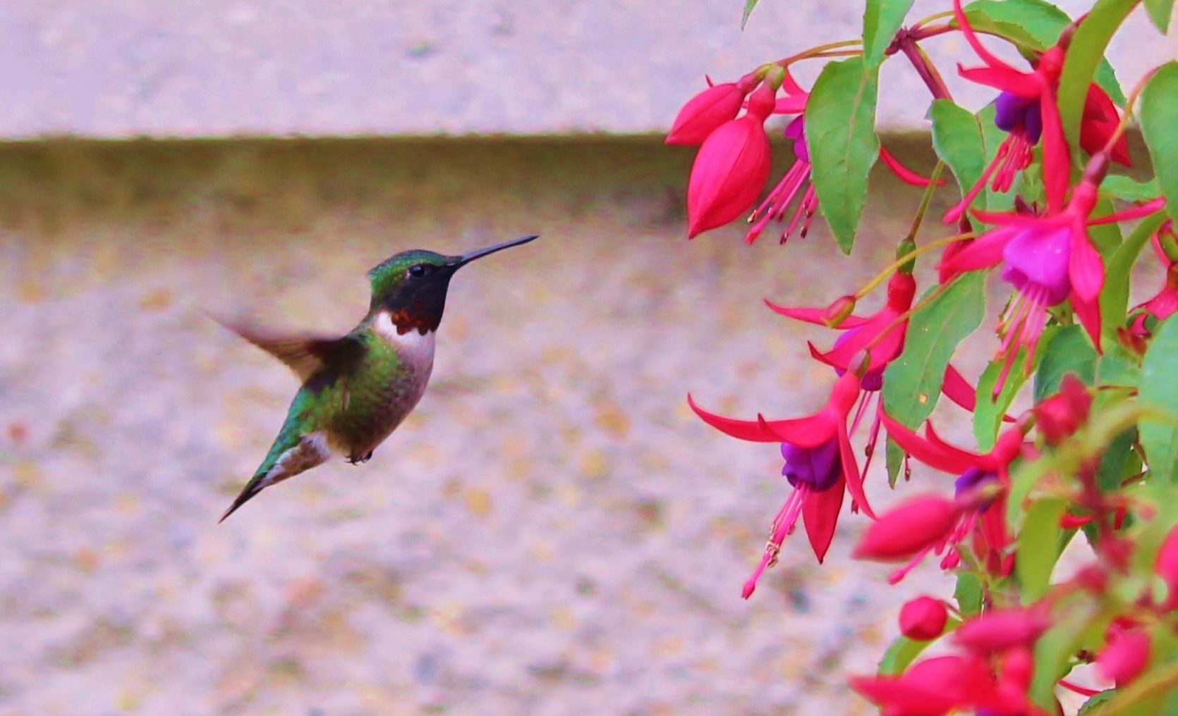 Ruby-throated Hummingbird - Birds and Blooms