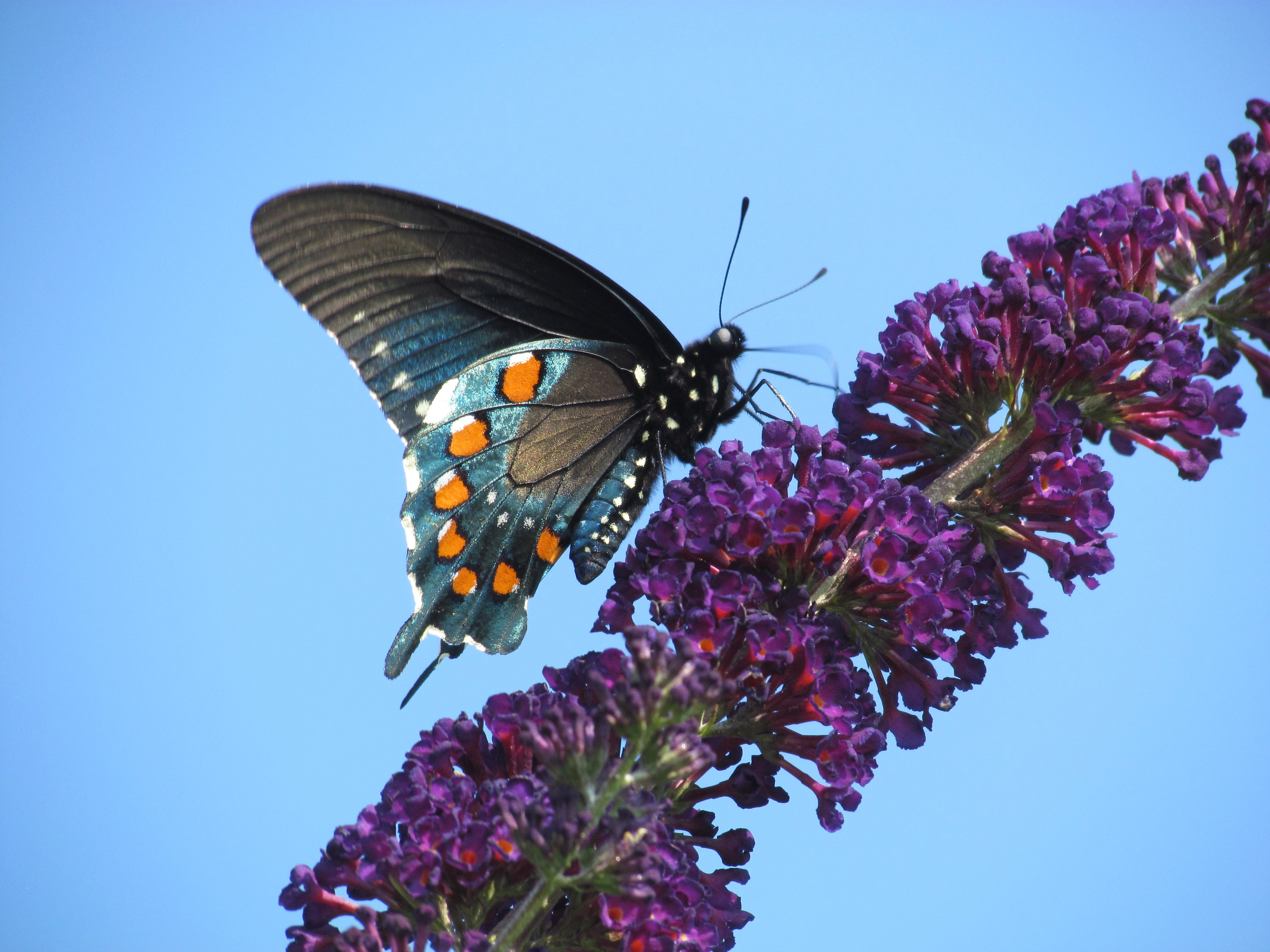 Iridescent Swallowtail Birds And Blooms