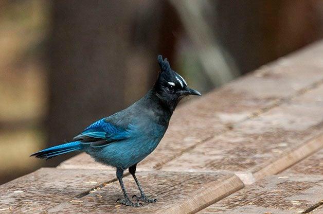 Bird Species Profile: Steller's Jay