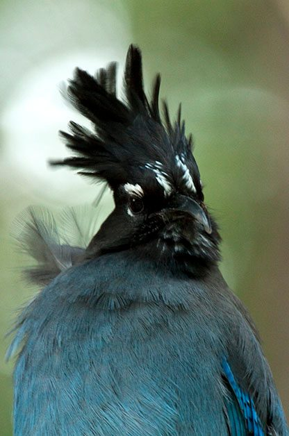 Bird Species Profile: Steller's Jay