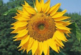 Sunflowers For Birds