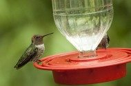 The Best Sites for Viewing Hummingbird Species in Southeast Arizona