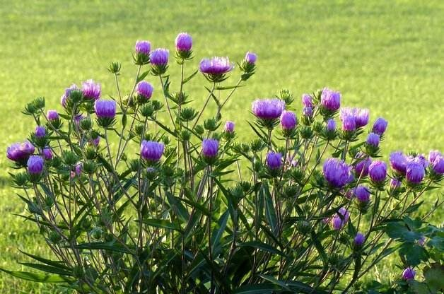 Attract Butterflies with Stokes Aster