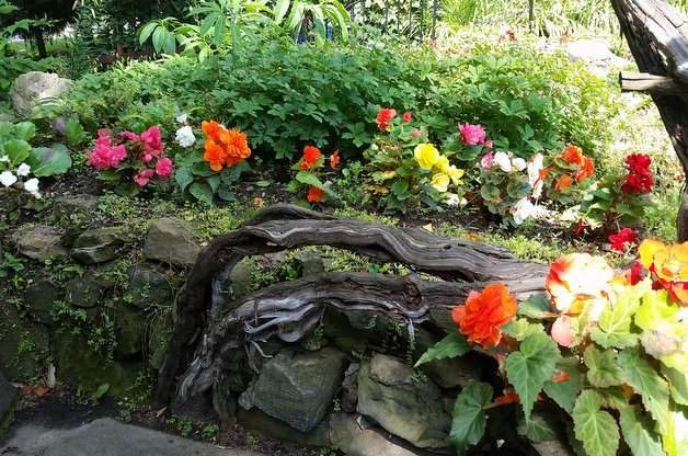 Double Begonias in the Flower Garden