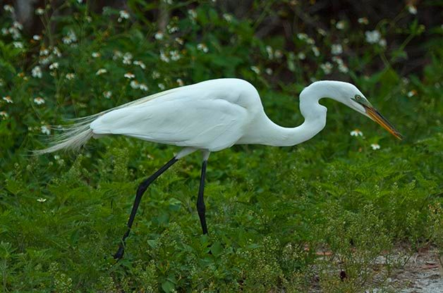 Bird Species Profile: Great Egret