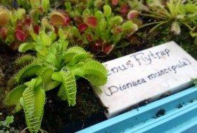 Growing Carnivorous Plants Venus Flytrap