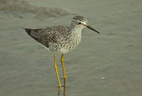 Bird Species Profile: Lesser Yellowlegs