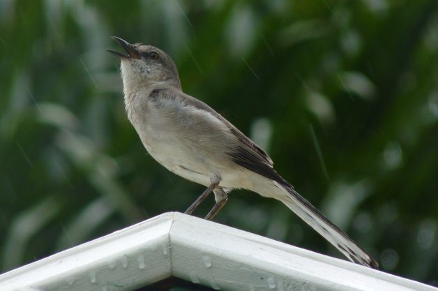 Nature Photography in the Rain Mockingbird